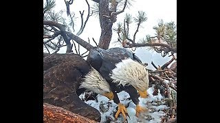 Big Bear eagles CA 3 6 19 122pm Congrats Jackie & Shadow 1st egg was laid in snow covered nest