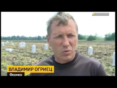 Краснодарские фермеры приступили к сбору картофеля
