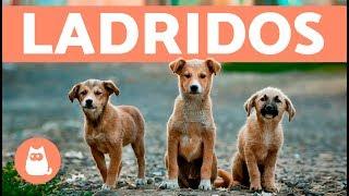 Preciosos cachorros ladrando - Puppies barking