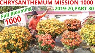My Chrysanthemum With 1000 Flowers, Chrysanthemum Mission 1000, 2019-20, Part 30