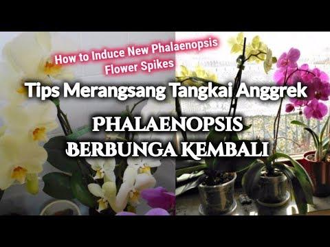 Video Tips Merangsang Tangkai Anggrek Phalaenopsis Berbunga Kembali