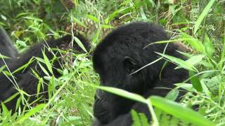 preview picture of video 'Silverback and Gorillas with young in the jungle (Uganda, Kisoro, 2009)'