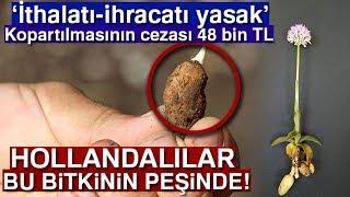 Bu Bitkiye Dokunan Yandı... Salep'in Kopartılmasının Cezası 48 Bin TL