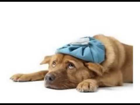 Video Kennel Cough Home Remedies- The Best Kennel Cough Home Remedies For Your Dog