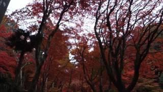 紅葉スポット滋賀県鶏足寺2016.11.19