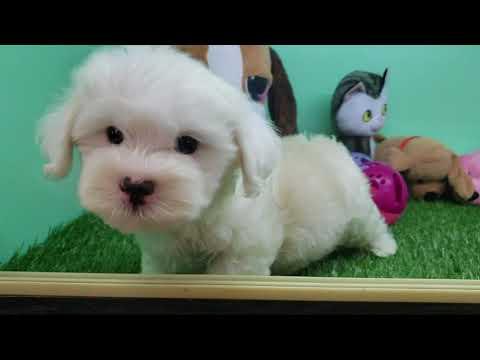 Maltipoo Puppy- Male- Oakley