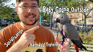 Harness Trained Baby African Grey Parrot Enjoys Going to a Park