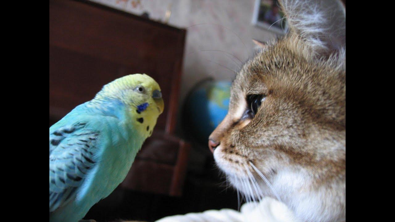 Попугай говорит с котом фото
