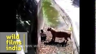 The infamous Delhi Zoo Tiger attack!