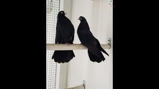 Николаевские голуби г. Тюмень Поздравляем с Новым годом! Наши чёрные жуки.