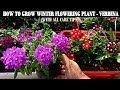 How To Grow Flower Plants At Home Verbena