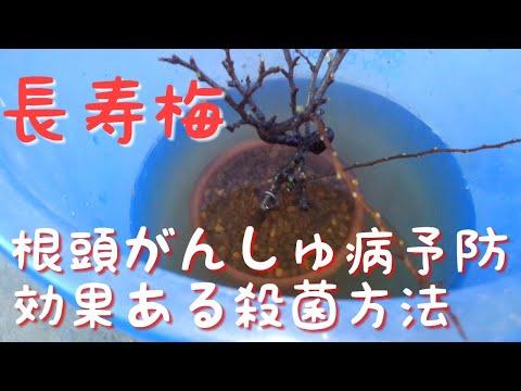 , title : '長寿梅 植え替え時での根頭がんしゅ病予防(盆栽・初心者の方も必見です)
