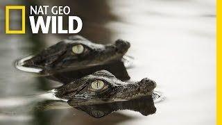 It's a Rough Life for Baby Crocs | Boss Croc...