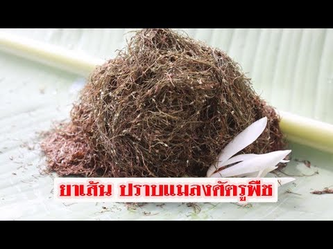 Worming ฟักทอง