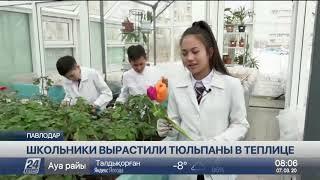 Павлодарские ученики вырастили в теплице 16 сортов тюльпанов