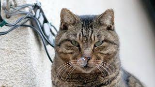 Самый умный кот по имени Тайсон. Приколы с кошками