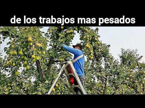 que belleza ver tanta fruta, cosecha de peras, INCREDIBLE PEARS TREES