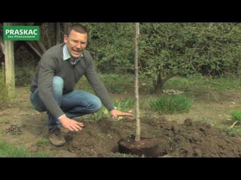 Baum pflanzen | So macht man es richtig
