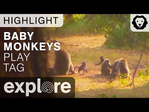 Baby Monkeys Play Tag And Dance Around - Live Cam Highlight
