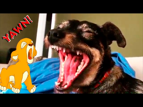 Dog Yawning Compilation #1 - Funny Videos Animals 2017