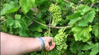 How to Grow Backyard Grapes