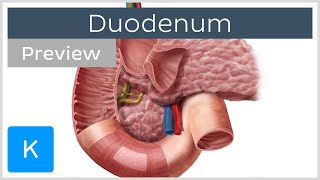 Duodenum function and overview (preview) - Human Anatomy | Kenhub