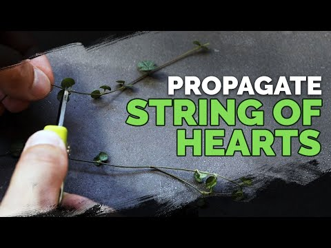 Easy String of Hearts Propagation Method 🌱💚