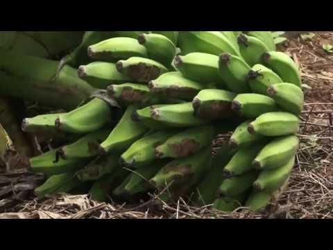 Produção de banana no município de Barra do Choça é destaque na Bahia