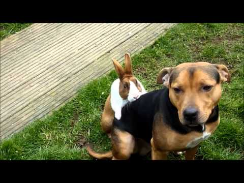 Rabbit Tries To Hump Dog!