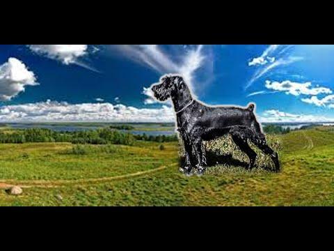 Панариций  . Травма  когтя  - лапы у  собаки  .
