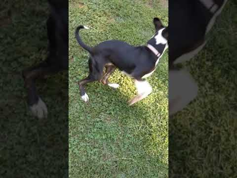 Milo, an adoptable American Staffordshire Terrier & Boxer Mix in Sanford, NC