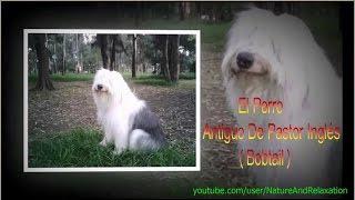El Perro Antiguo De Pastor Inglés o Bobtail - Razas de Perros