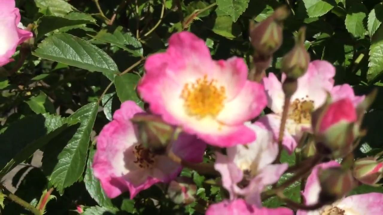 Rosa Ballerina Pink Rose Flowers In Garden #rosa #roses #ballerina #worldgardeners