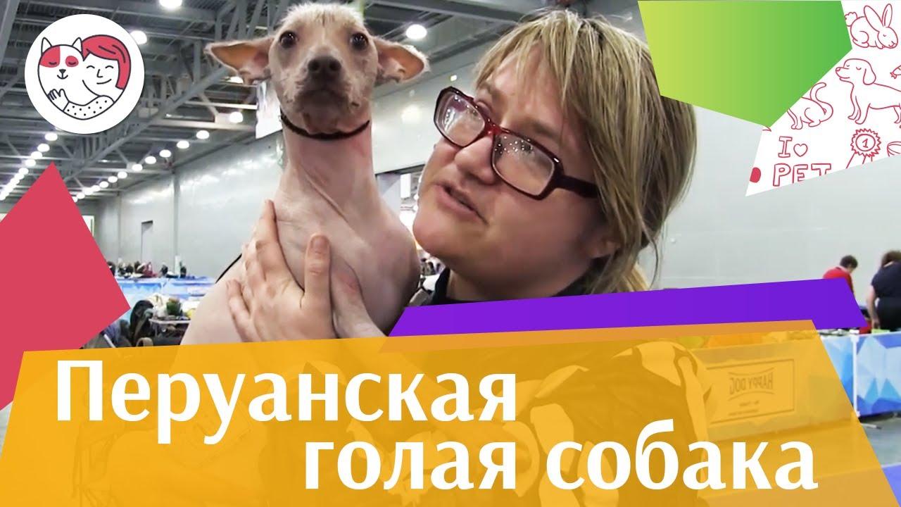 Перуанская голая собака на Евразии 17 ilikepet