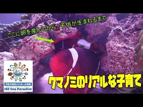 【クマノミ】クマノミ(スパインチークアネモネフィッシュ)が卵を産みました!!(伊勢シーパラダイス)