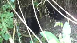 preview picture of video 'Baby mountain gorillas in Rwanda'