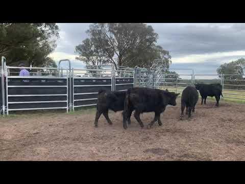 25 Unweaned Steers