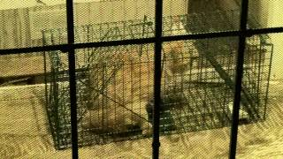 preview picture of video 'Cat Trap, 17 October 2013, 468 S. Orange Ave., Yuma, Arizona, Feral Cat'