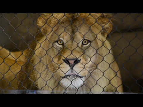 HUGE Male Lion Oregon Zoo Shocks Audience with Display