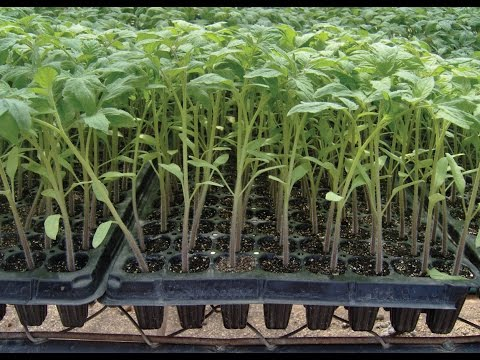 Cómo Fertilizar Cultivos de Tomate - TvAgro por Juan Gonzalo Angel