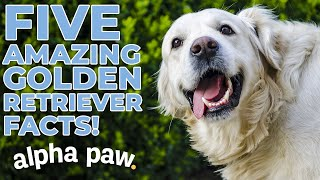 5 Amazing Golden Retriever Facts!