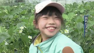 神戸市北区 イチゴ狩りのシーズン始まる