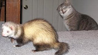 FERRETS or CATS? You DECIDE which animals are FUNNIER! - Get ready to DIE FROM LAUGHING!