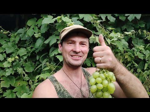 Северный виноградник.Первый урожай винограда в августе на северо-востоке Белоруссии.