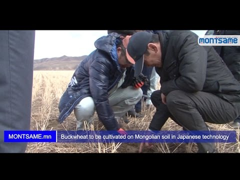 Buckwheat to be cultivated on Mongolian soil in Japanese technology