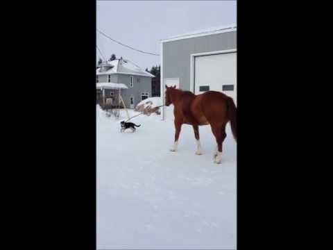 hqdefault - Un cachorro de pastor aleman de tres meses saca a pasear al caballo