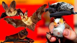 Почему летучая мышь летит не белую простыню. Факты про летучих мышей
