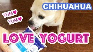 【funny dog】chihuahua loves a yogurt【dog】【chihuahua】【funny and cute】