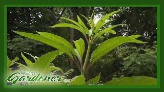Medicinal Herbs: Lisa's Greenhouse & Gardens | Volunteer Gardener