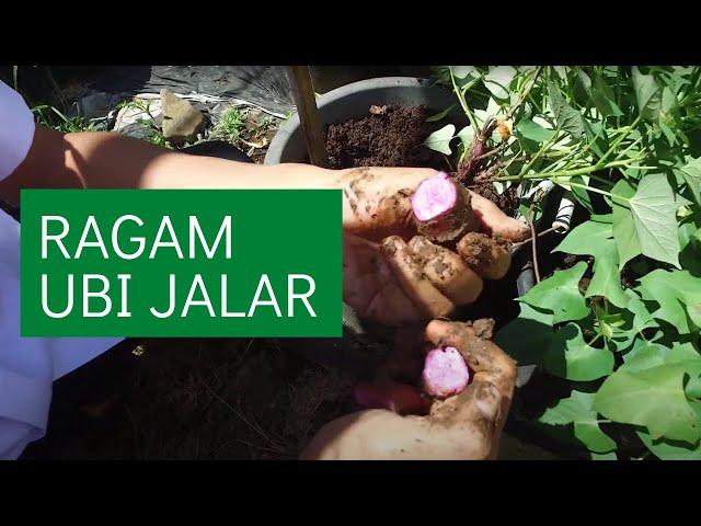 Banyaknya Koleksi Ubi Jalar di Balitbangtang – Vlog!